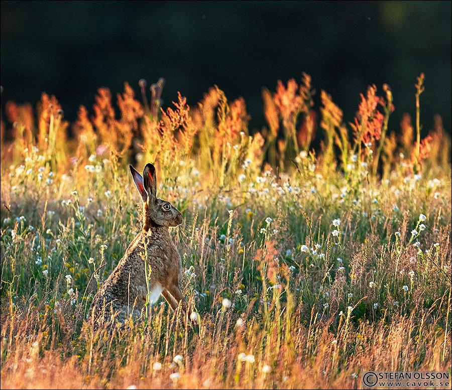 Hare bland sandvita och ängssyra