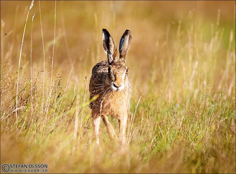 Hare skuttar mot mig