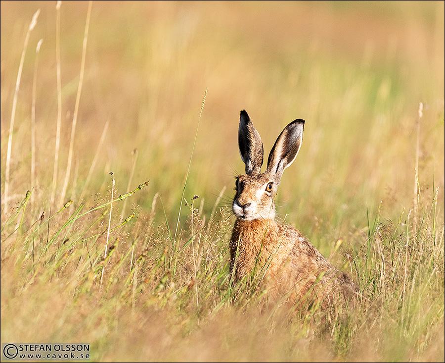 Hare vid Vressel