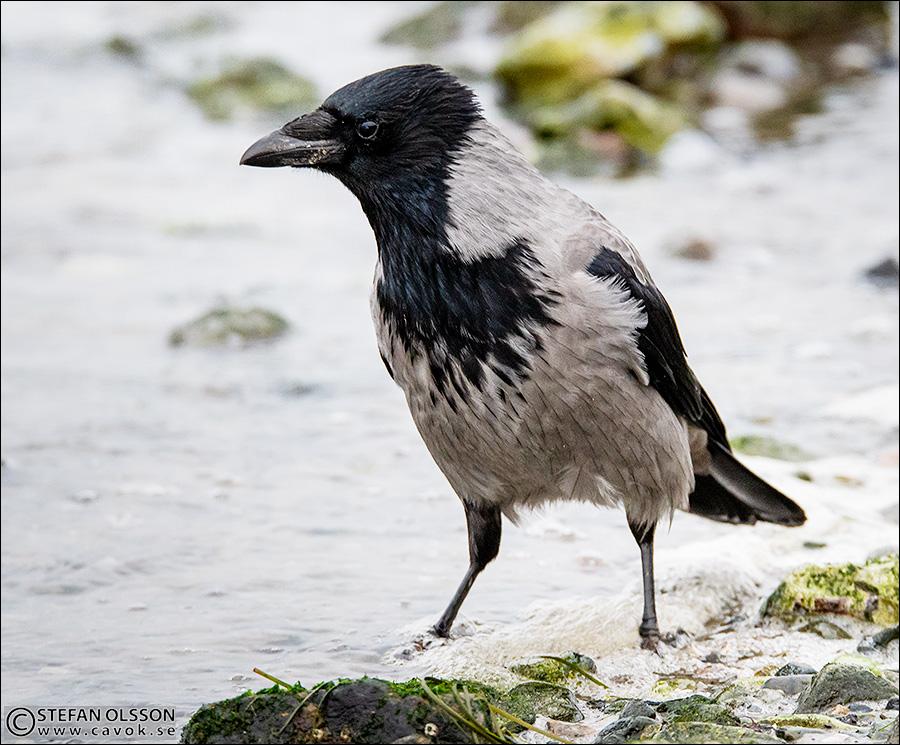 Gråkråka letar efter föda i vattenbrynet