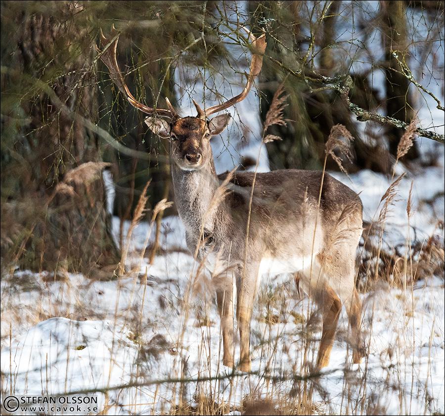 Dovhjort i vintrigt Vombs fure