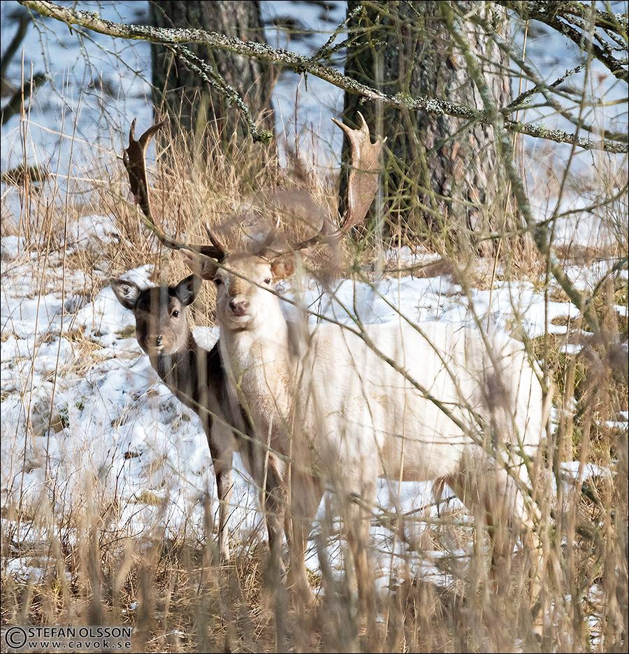 Vit dovhjort i vintrigt Vombs fure
