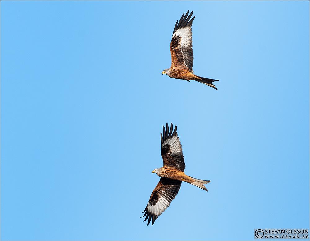 Två glador flyger i formation