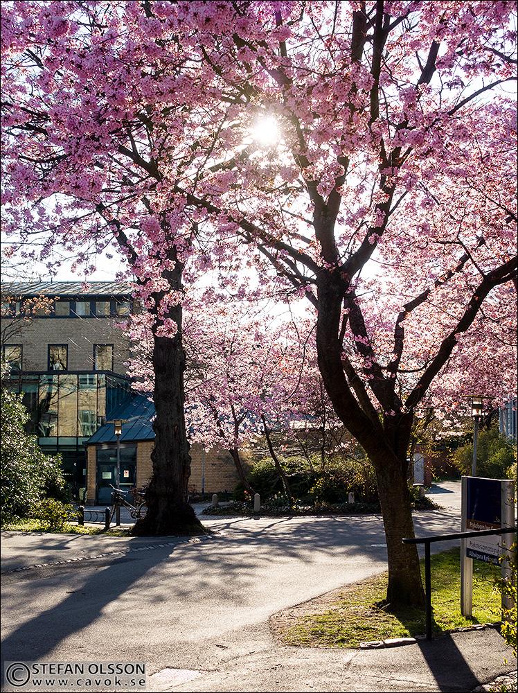 Blommande körsbärsträd utanför Eden
