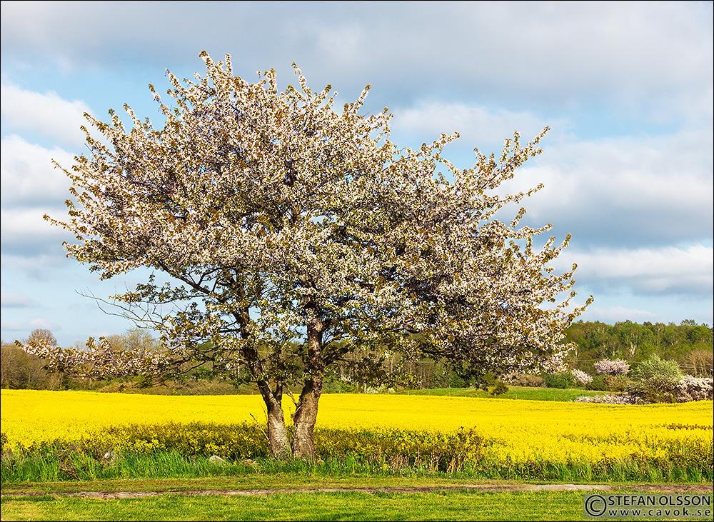 Träd med vita blommor framför gult rapsfält