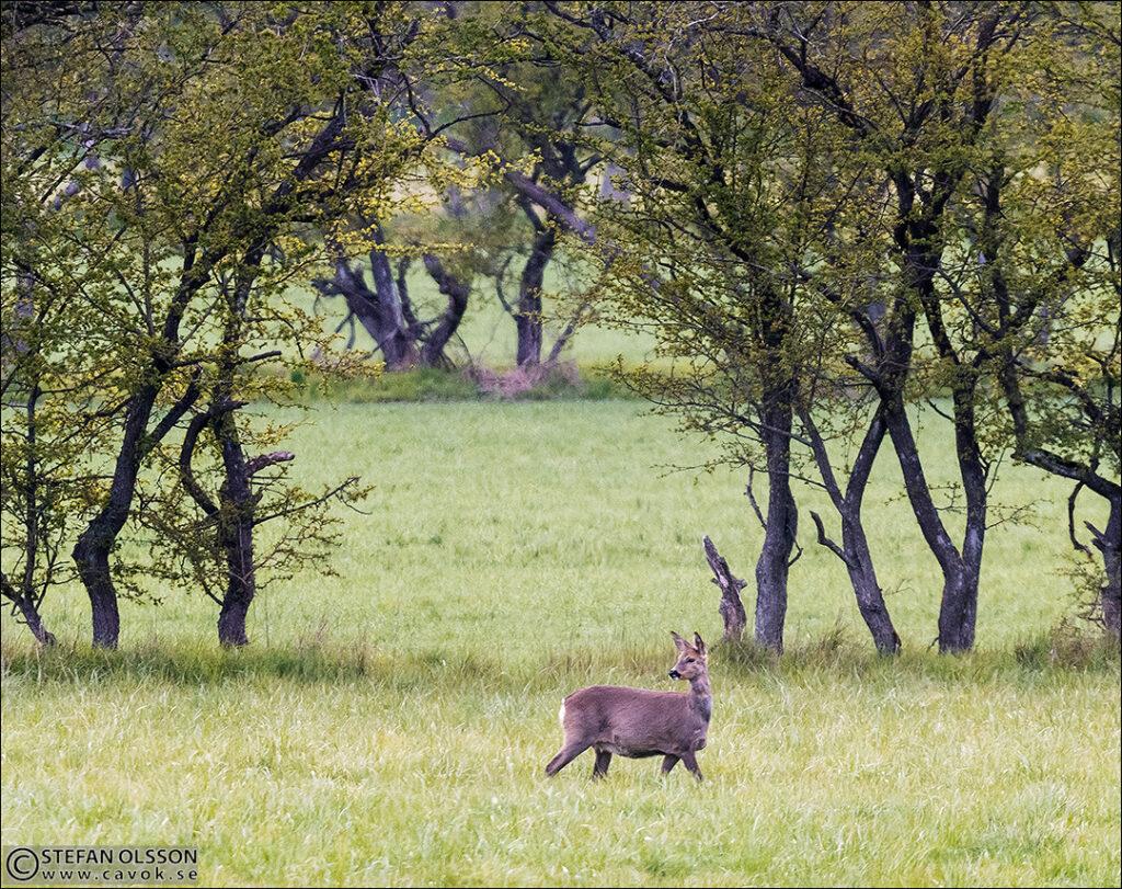 Rådjur på gräsfälten vid Vombsjön