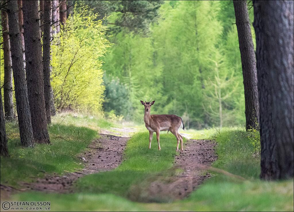 Ung dovhjort på skogsväg - Hultaskogen