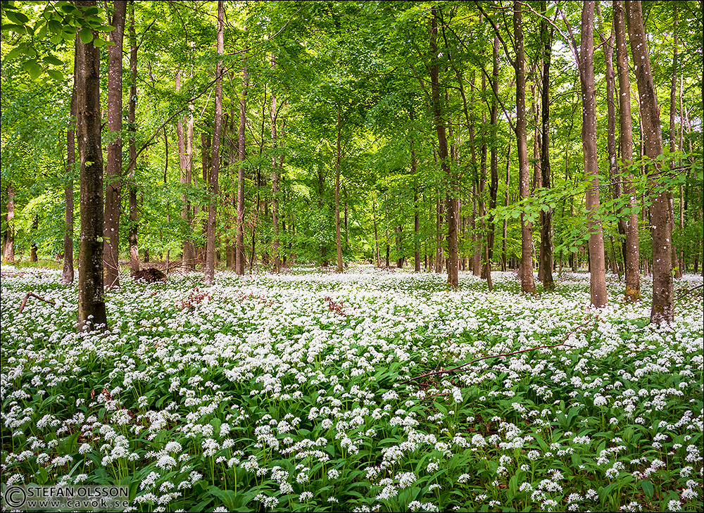 Skog full med blommande ramslök