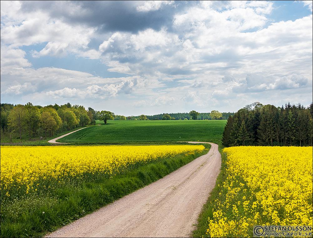 Blommande raps mellan Bokeröd och Skotthusa