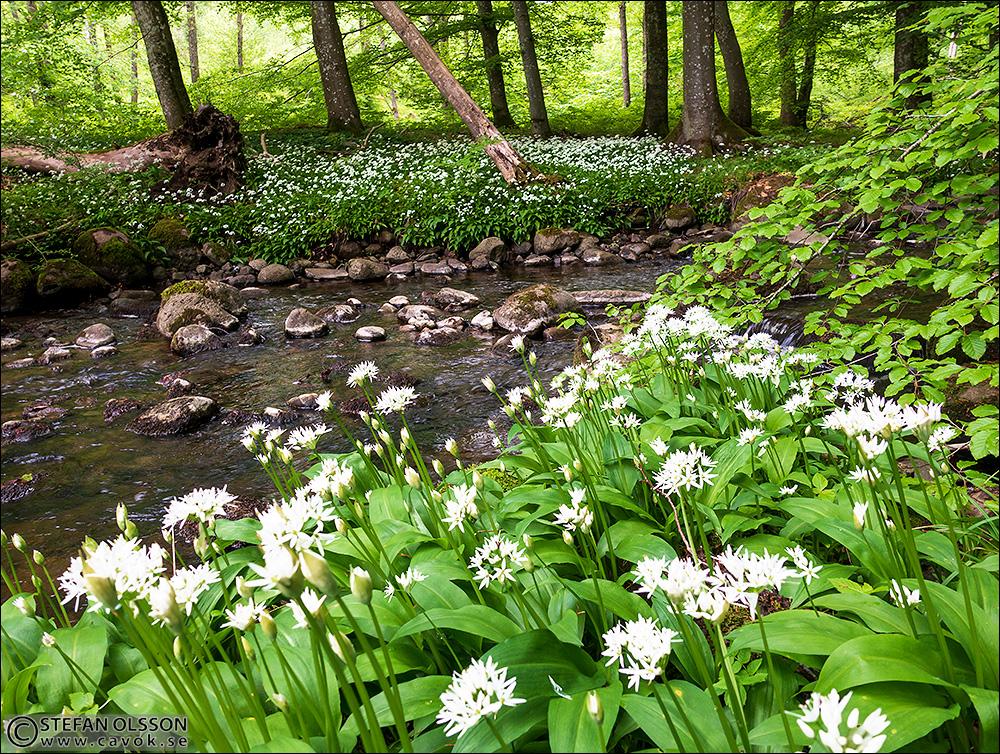 Blommande ramslök vid Borstbäckens porlande vatten