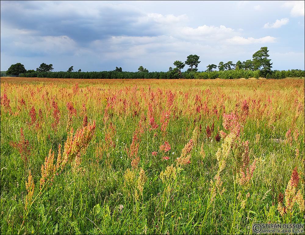 Blommande ängssyra på Revingefältet