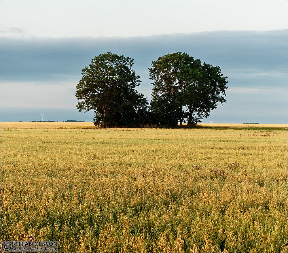 Två träd på havreåker