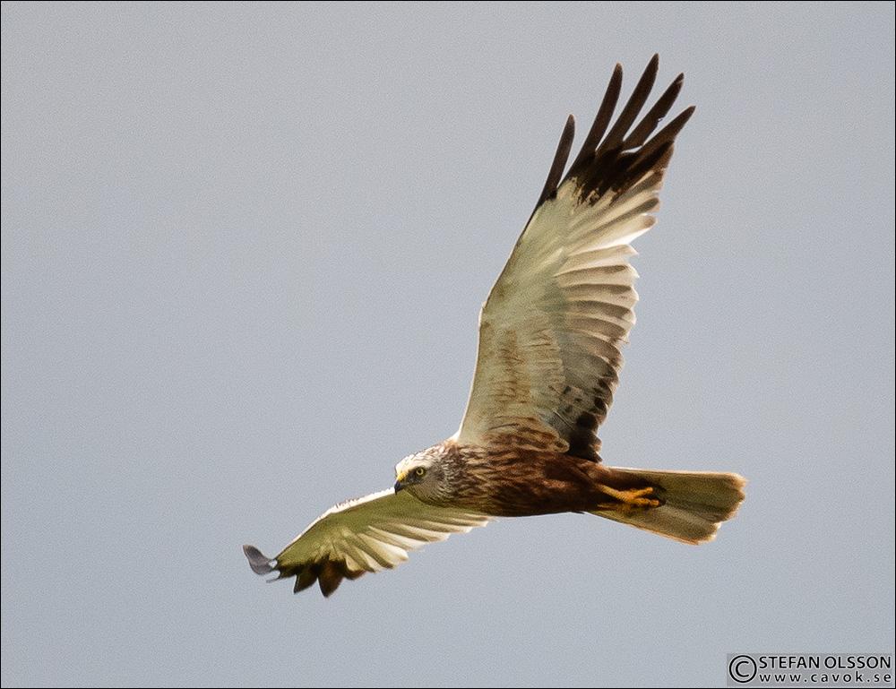 Brun kärrhök - hane - Vombs ängar