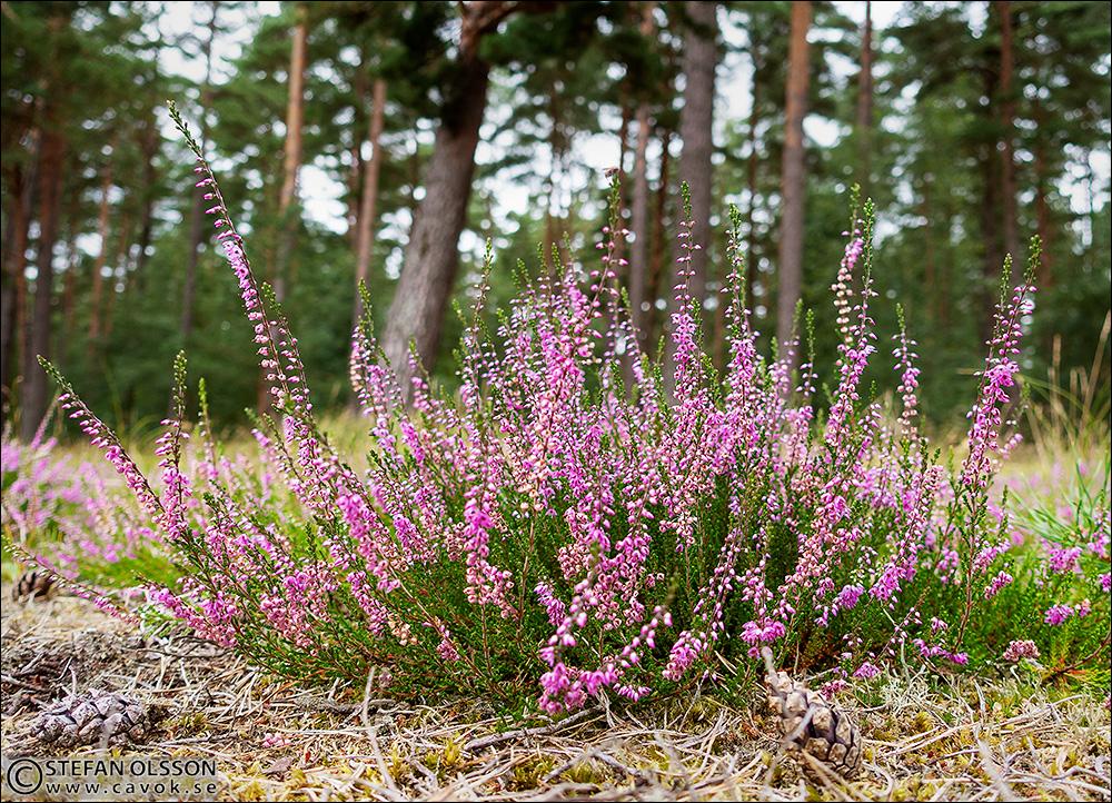 Blommande ljung i Vombs fure