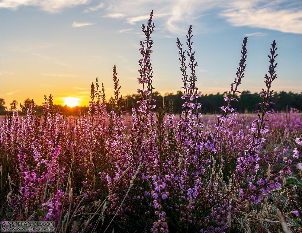 Blommande ljung i solnedgång