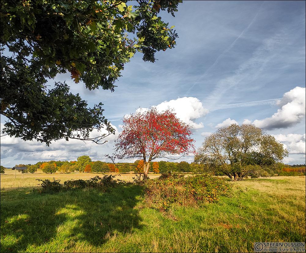 Rönnbärsträd med röda bär på Revingehed
