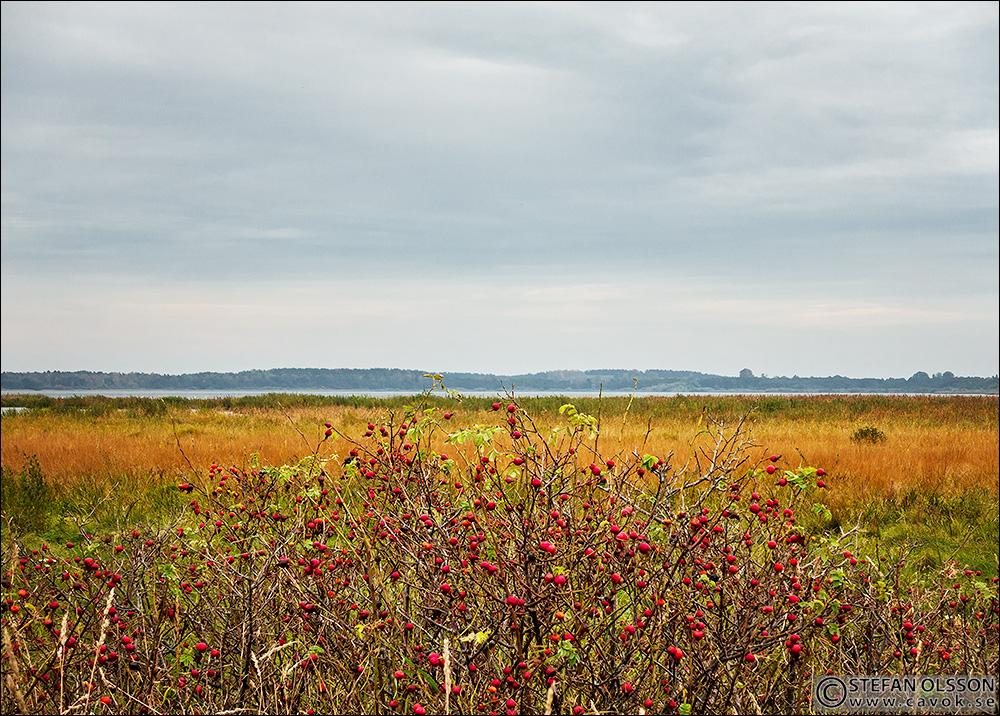 Vildnypon vid Sjötorps ängar - Krankesjön